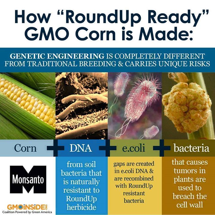 how roundup ready mo corn is made